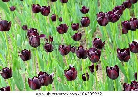 Dark tulip blooming in the garden