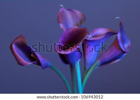 Dark violet calas on blue background