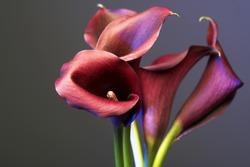 Dark violet callas on blue background