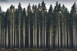 Dark woods, southern Sweden