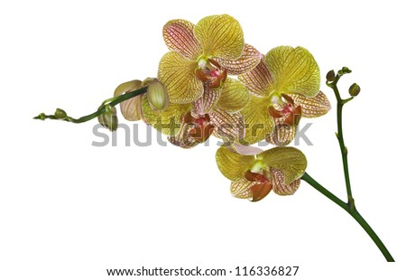 dark yellow orchid flowers isolated on white background