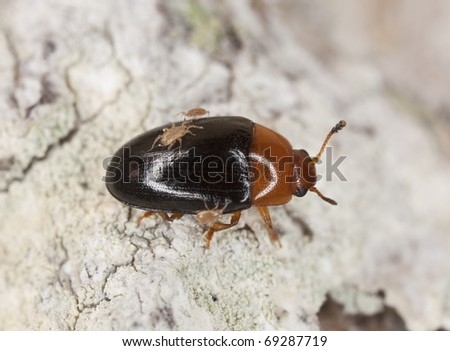 Darkling beetle with parasites, extreme close-up with high magnification