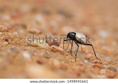 Darkling beetles - Cauricara eburnea, beautiful iconic beetle endemic in Namib desert, Namibia. #1498945661