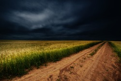 darkness, dark, blackness, night, obscurity, gloom. summer photo of cereals, barley a hardy cereal that has coarse bristles extending from the ears. It is widely cultivated, chiefly for use in brewing