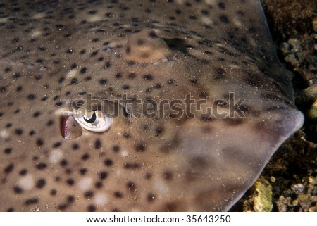 Darkspotted stingray taken in mediterranean sea