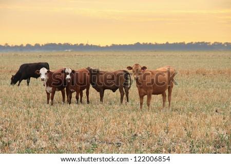 darling downs cattle grazing on grain stubble sunrise