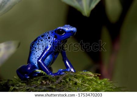 Dart frog dendrobates tinctorius azureus closeup on moss Stock foto ©
