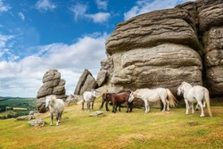 Dartmoor Ponies near Saddle Tor, Dartmoor, Devon, UK