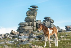 Dartmoor pony foal in front of Great Staple Tor, Devon, West Country, England, UK.