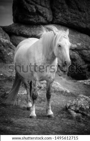 Dartmoor Pony near Saddle Tor, Dartmoor, Devon, UK Stock fotó ©