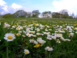 Dasyies and dandelions on grass field