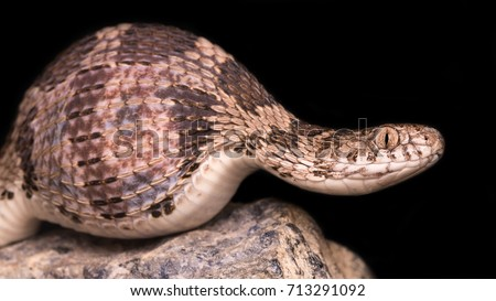 Shutterstock Dasypeltis is a genus of colubrid snakes. It is one of only two taxonomic groups of snakes known to have adapted to feed exclusively on eggs