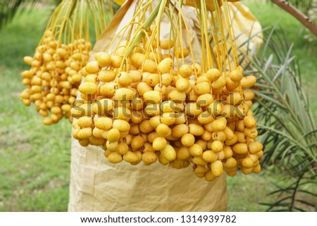 Date Palm Fruits #1314939782