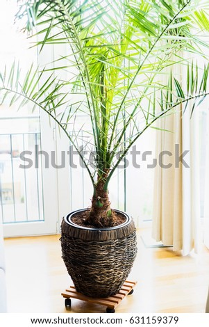 Date palm in patio container at window , home interior with tropical palm plant. Phoenix dactylifera in pot