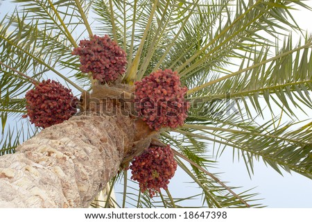 date palm tree clip art. date palm tree fruit. stock
