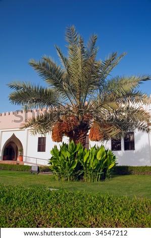 date palm tree in desert. date palm tree in desert.