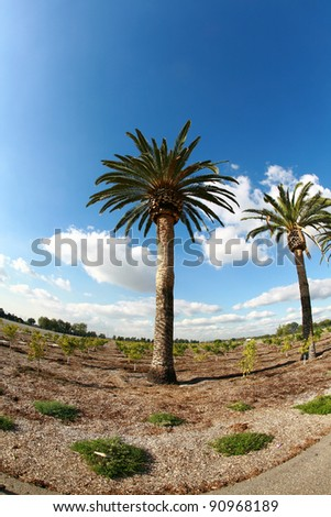date palm tree in southern california with a blue sky with white fluffy clouds, shot with a fish eye lens for a fun and distorted unique view.