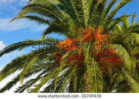 date palm tree clip art. stock photo : Date palm tree