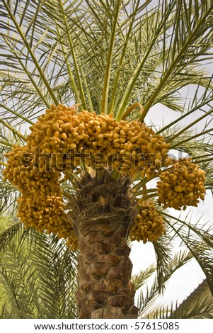 palm tree clipart. date palm tree clip art. stock