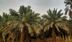 Date palm trees growing in a row and branches of date palms under blue sky.Plantation of date palms. Tropical agriculture industry in the Middle East