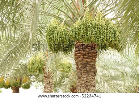 date palm tree in desert. stock photo : date palm trees