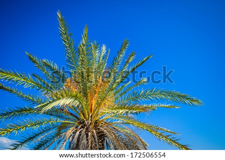 Date palms in the Mediterranean Sea