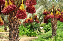 Dates palm branches with ripe dates. Northern israel.