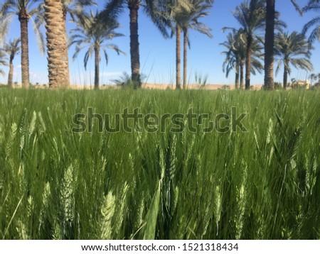 Dates tree in between wheat field in Egypt #1521318434