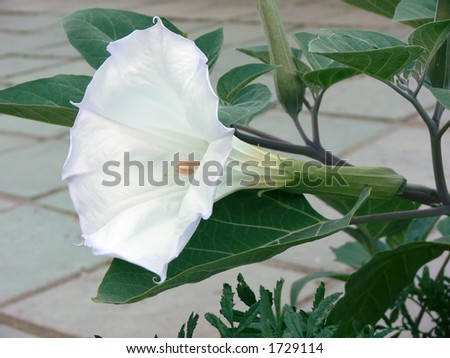 Angel Trumpet Flower on Datura  Angel Trumpet  Flower Stock Photo 1729114   Shutterstock