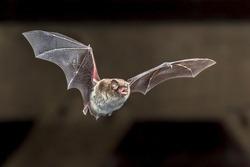 Daubentons bat (Myotis daubentonii) flying on attic of house