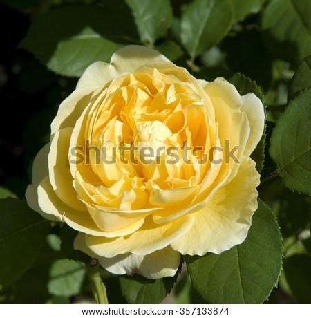 David; Austin; English; rose #357133874
