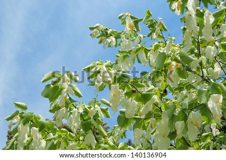 stock-photo-davidia-involucrata-or-handkerchief-tree-with-flowers-140136904.jpg
