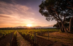 Dawn breaking over rows of young vines in a vineyard in Corsica with pine trees in the foreground and mountains in the distance