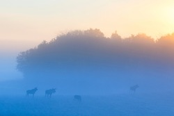 Dawn fog with a moose flock in the sunrise