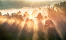 Dawn in a foggy forest, the sun's rays make their way through the fog and trees.