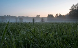 Dawn in a green meadow. Grass is covered with tiny drops of dew, small spiderwebs are shining in a dim light and the fog is rising over Kampinos National Park. Selecive focus in dew drops.