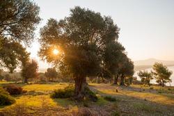 Dawn in olive garden