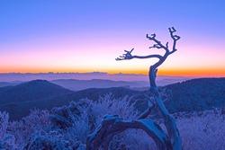 Dawn view of snow and hoarfrost on a dead tree at Taebaeksan Mountain near Taebaek-si, South Korea