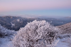 Dawn view of snow and hoarfrost on a low tree at Taebaeksan Mountain near Taebaek-si, South Korea