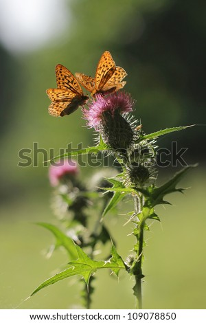 Day butterflies feeding on a thistle flower
