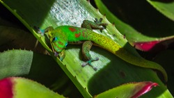 day gecko sticks his tongue out for the camera - taken from foster botanical garden in honolulu hawaii oahu
