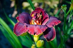 day-lily flower. Hemerocallis fulva. purple Daylily. lily flower in sun light. The flowers come into bloom in summer. macro photography. Day lily or Hemerocallis. plant blooming tropical flower.