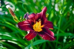 day-lily flower outdoor. purple lily flower. Blooming lily in green garden. Purple flowers of day lily in garden. in my organic garden. Flower cultivated garden plant. Blooming bright plant. lilium.