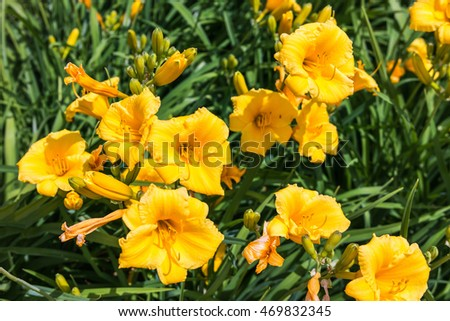 Day-lily flowers