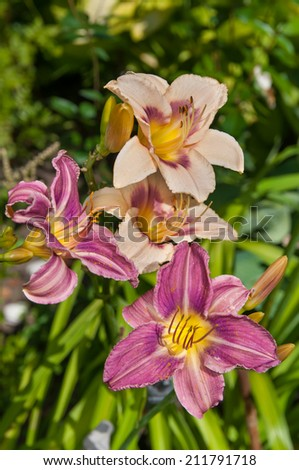 day lily light violet beautiful flowers postcard