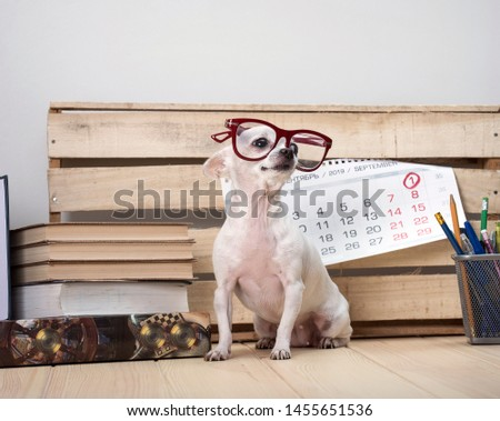 Day of knowledge. Teacher's Day. September 1. Chihuahua dog breed in glasses, among books and with a wall calendar