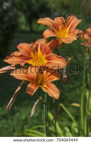 daylily day lilly  hemerocallis ...