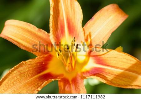 Daylily Stamen Closeup #1117111982
