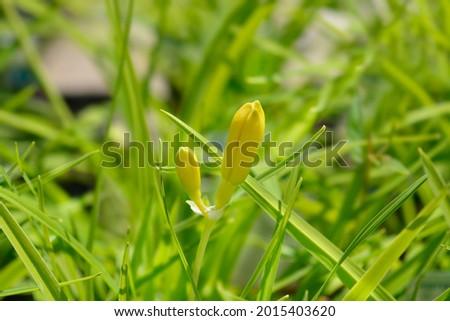 Daylily Stella de Oro flower buds - Latin name - Hemerocallis Stella de Oro Foto d'archivio ©