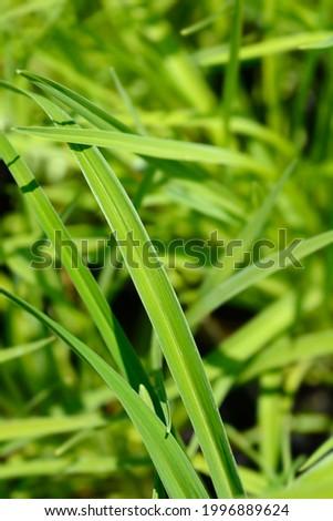 Daylily Stella de Oro leaves - Latin name - Hemerocallis Stella de Oro Foto stock ©